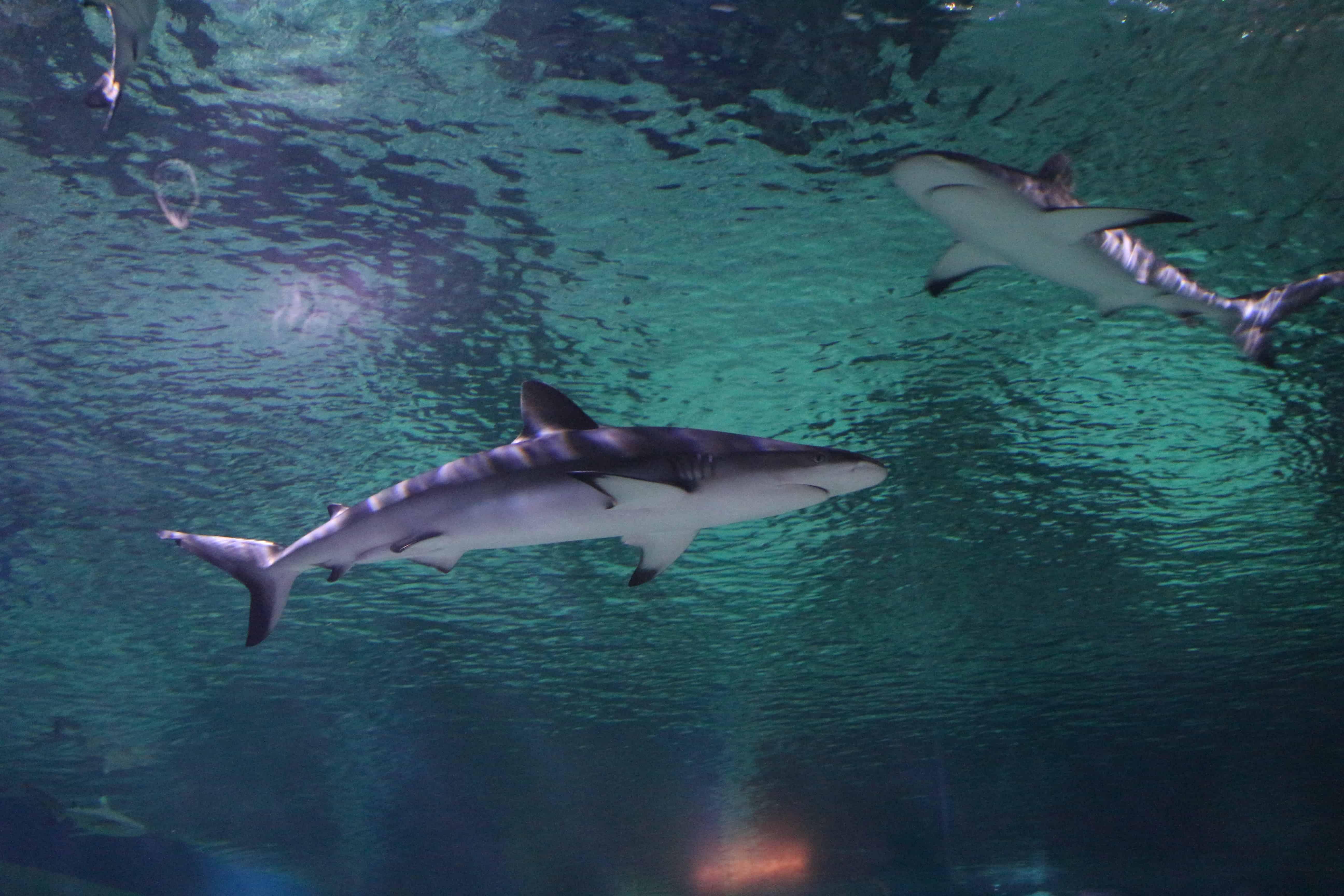 Žraloci v Egyptě
